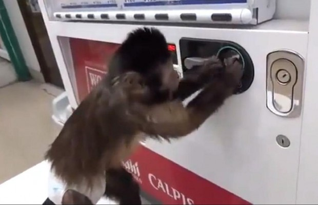 Monkey Needs A Cold Beverage On A Hot Day