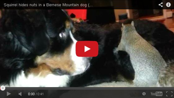Squirrel Hides a Nut…in the Dog's Fur!