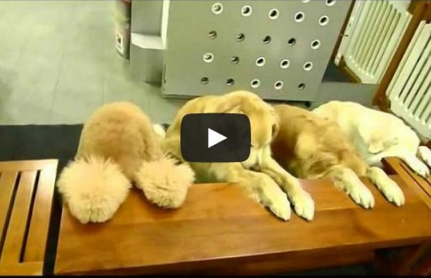 Well Mannered Dogs Pray Before Eating