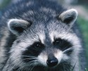 raccoon 1240